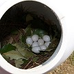 A rare nest of 8 Eggs inside a Troyer Horizontal Gourd Conley II Entrance